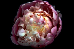 photo painting of one of my peony blossoms