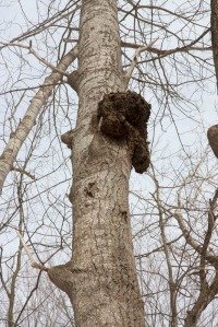 Chaga way up a tree