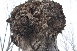 Close up picture of Chaga