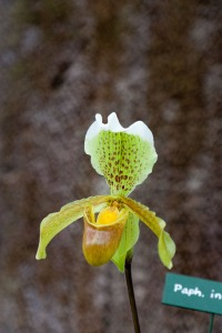 original orchid picture - orchid was selected from background using photoshop