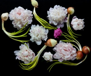 peonies and onions
