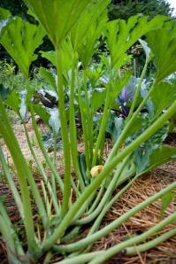 'Black' zucchini