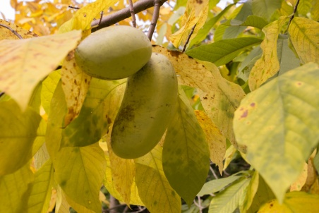 pawpaw-trees-and-fruits-2